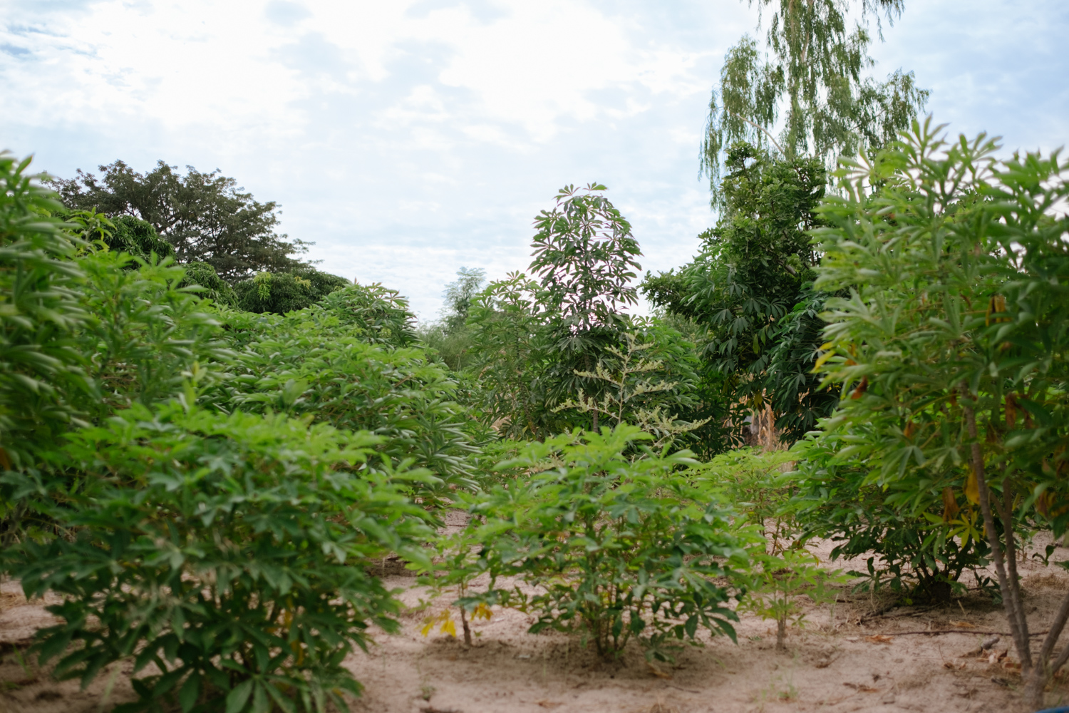Senegal-Ecosia-Forest-Garden-Agroforestry-trees-climate-change--58-of-103-