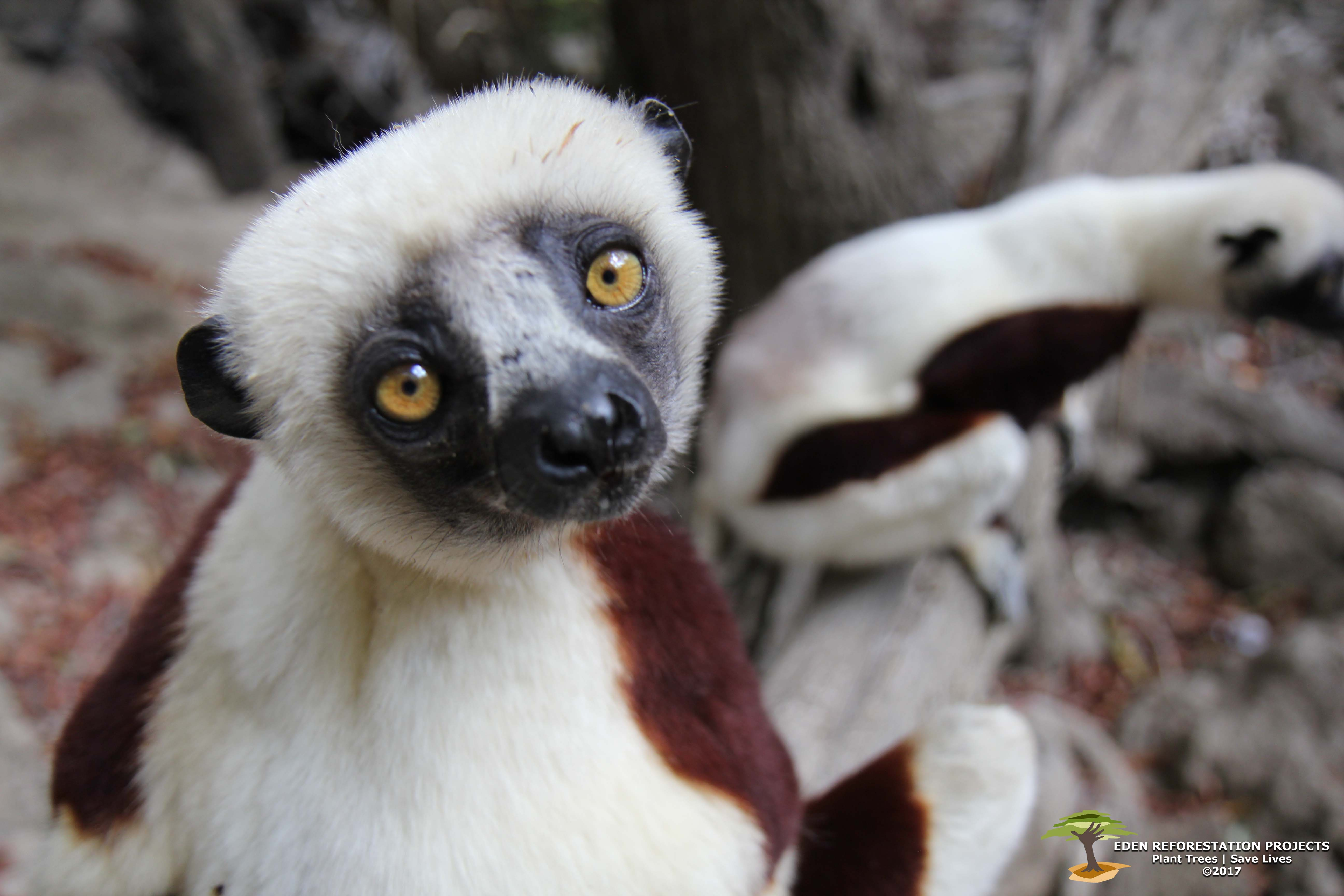 Endangered-Sifaka-with-watermark