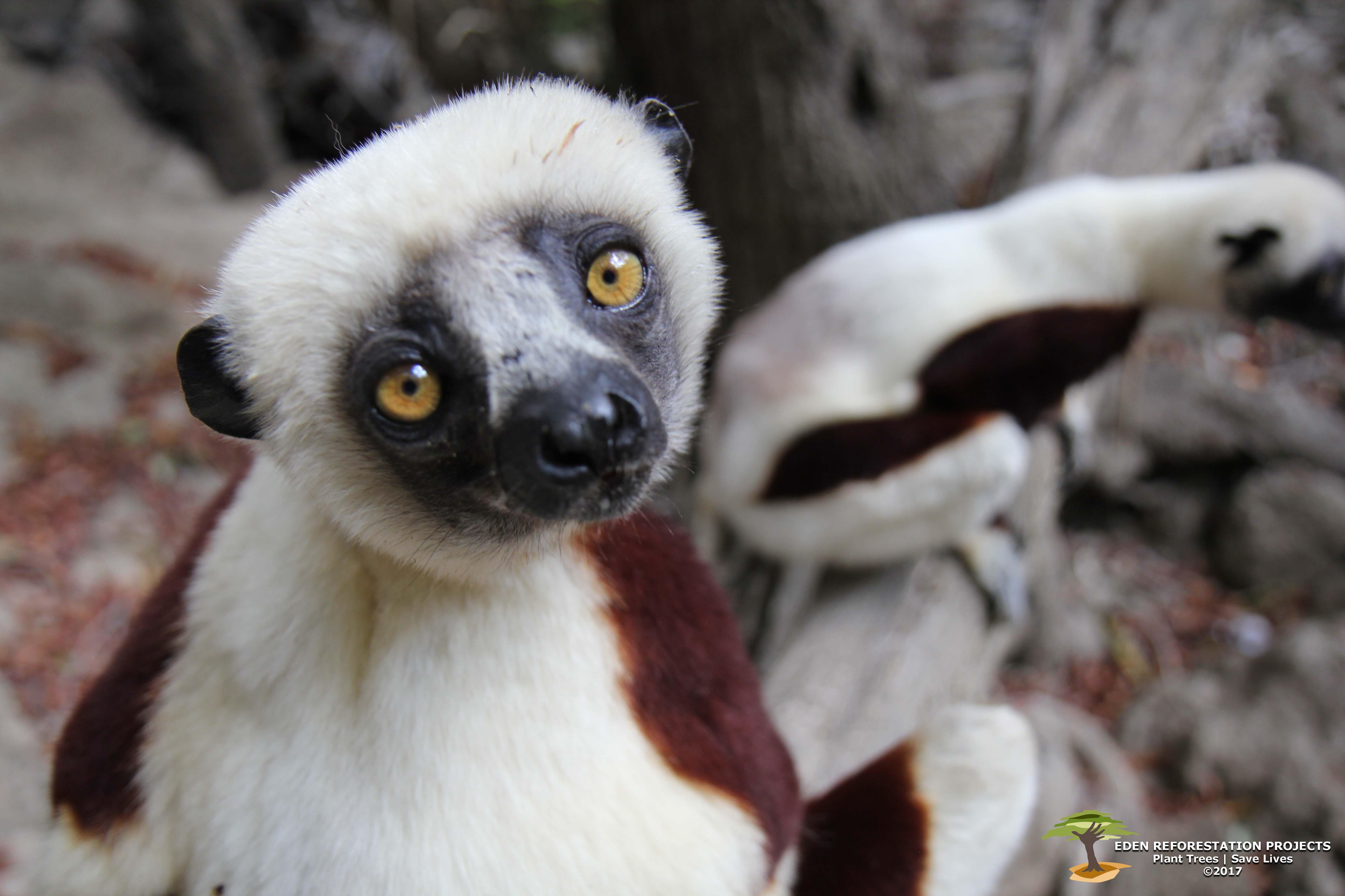 Endangered-Sifaka-with-watermark